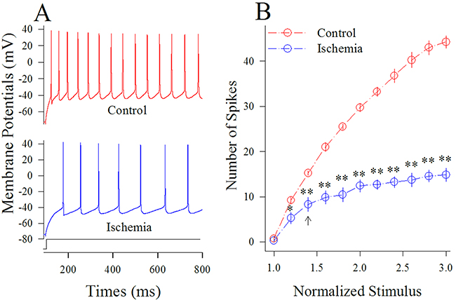Ischemia impairs spiking ability at cortical GABAergic neurons.