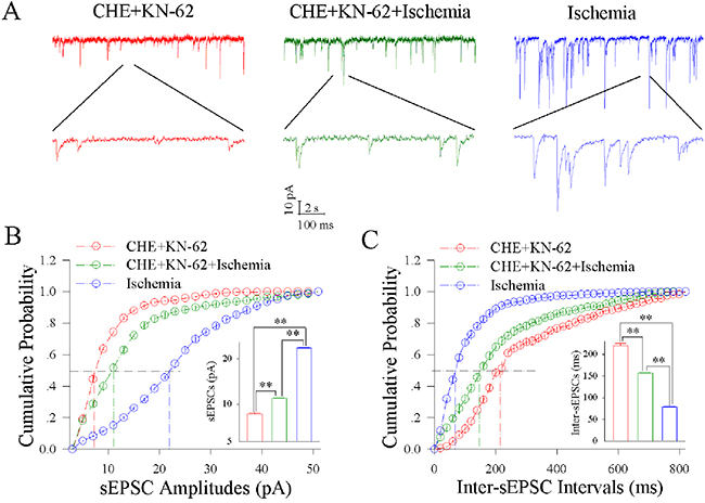 CHE and KN-62 synergistically block ischemic upregulation of excitatory synaptic transmission at cortical GABAergic neurons.