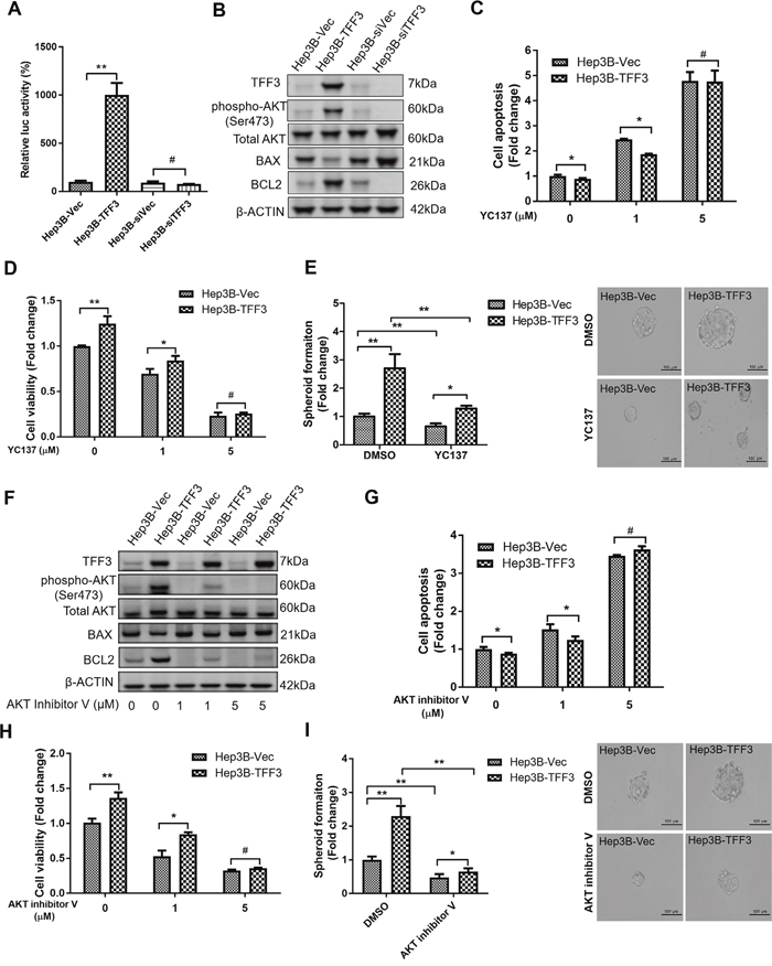 TFF3 promotes oncogenicity and CSC-like properties in a BCL-2 dependent manner that is mediated by AKT activation in Hep3B cells.