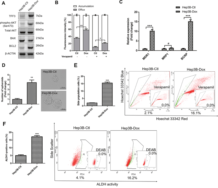 Doxorubicin resistant Hep3B cells exhibit increased TFF3 expression and CSC-like properties.