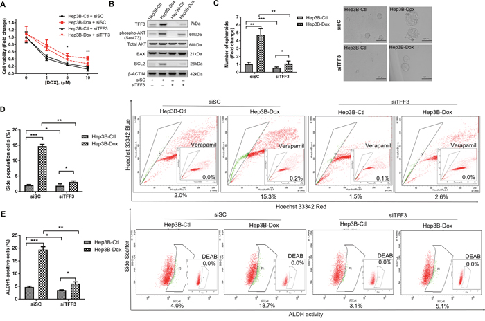 Depletion of TFF3 increases doxorubicin response and decreases CSC-like properties of Doxorubicin-resistant Hep3B cells.