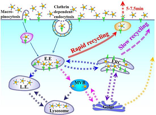 Schematic illustration of cellular uptake and intracellular trafficking of cRGDfK-PEG-AuNPs in U87 cells incubated in complete DMEM.