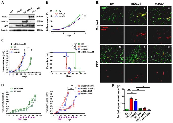 mDLL4 and mJAG1 reduced proliferation