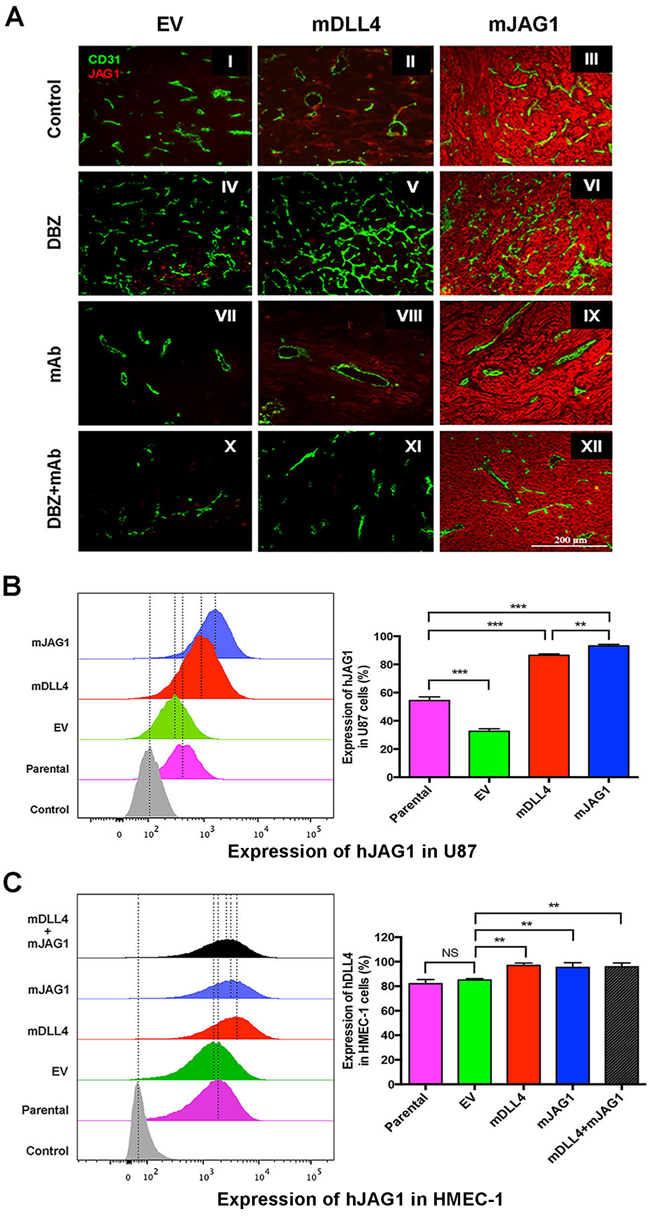 DLL4 and JAG1 induced endogenous JAG1 expression in tumour tissues.