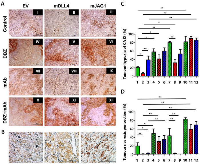 Immunohistochemical staining for hypoxia and tumour vessels in xenograft tumours.
