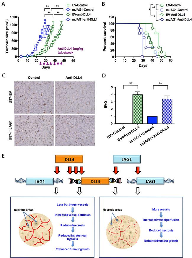 Anti-DLL4 antibody inhibited