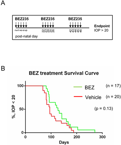 BEZ235 treatment does not significantly delay tumor-induced intraocular pressure of retinoblastoma bearing mice.