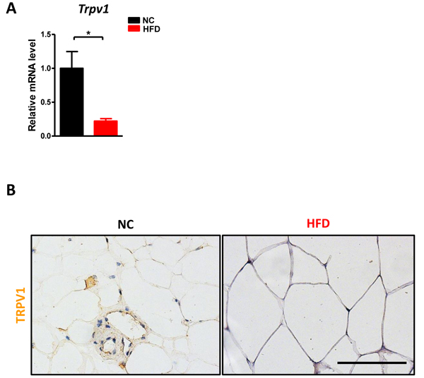 HFD reduced TRPV1 expression in adipose tissue.