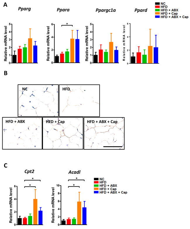 Capsaicin enhanced PPARα expression in the adipose tissue.