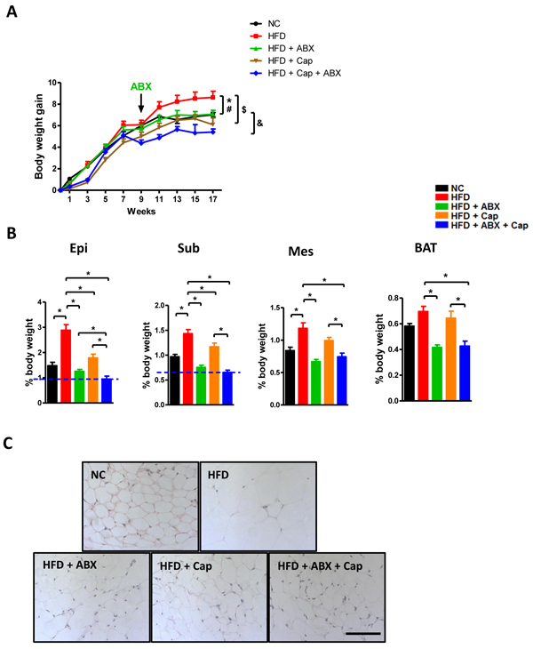 Capsaicin and antibiotics synergistically reduced HFD induced obesity.