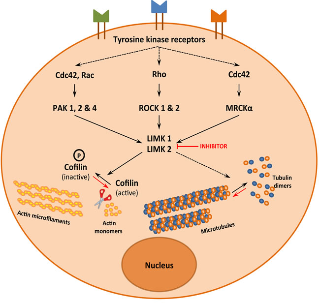LIMK1 and LIMK2, a signalization hub that controls actin and microtubule dynamics