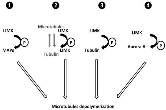 Possible mechanisms for LIMK regulation of microtubule dynamics.