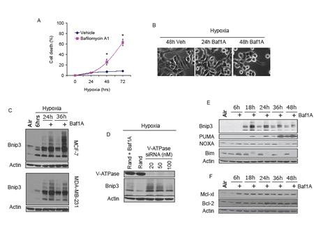 Vacuolar ATPase inhibition induces Bnip3 dependent cell death.