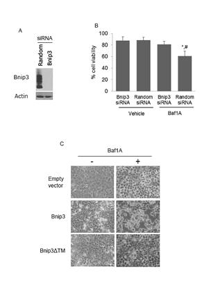 Bafilomycin 1A activates Bnip3 mediated cell death.