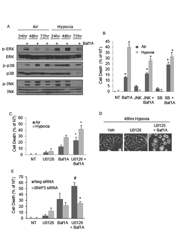 The MAPK signaling pathway contributes to and protects from bafilomycin 1A induced cell death.