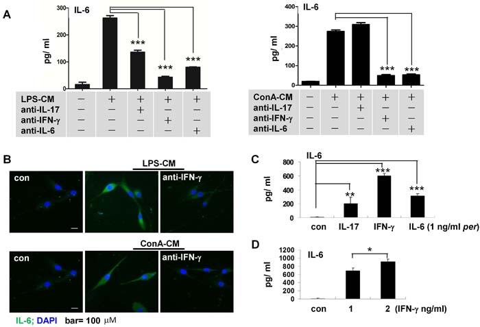 IFN-γ mediates IL-6 secretion in astrocytes stimulated by inflammatory media.
