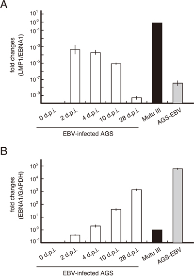 LMP1 mRNA expression decreased gradually in AGS cells infected with EBV.