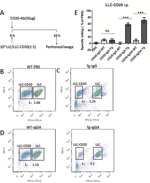 Macrophages mediated in vivo anti-CD20 antibody activity in a peritoneal model using LLC-CD20 cells.