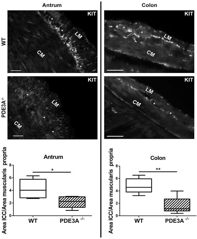 ICC network density is halved in adult PDE3A-/- mouse antrum and colon.