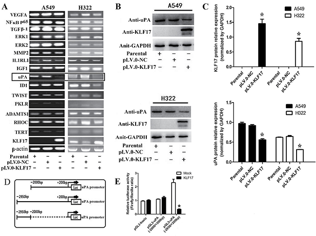 Enforced expression of KLF17 inA549 and H322cells inhibited the expression of uPA by binding with its promoter.