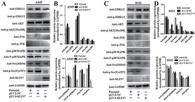 KLF17 inhibited the expression of phosphorylated-p38/MAPK and phosphorylated-Src.