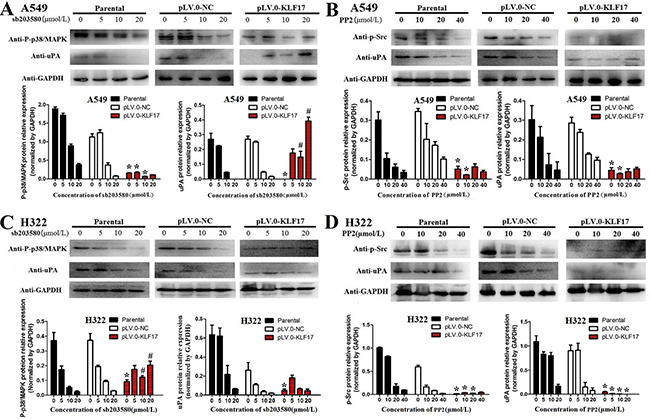 KLF17 negatively regulated the expression of uPA via the suppression of the Src and P38/MAPK signaling pathways.