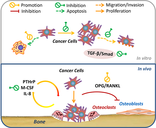 Schematic representation of the signaling pathways probably involved in osthole-mediated breast cancer bone metastasis.