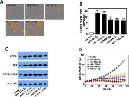 Characterization of the effect of the top 5 neurite-inducing miRNA mimics on cell differentiation and growth in multiple neuroblastoma cell lines.