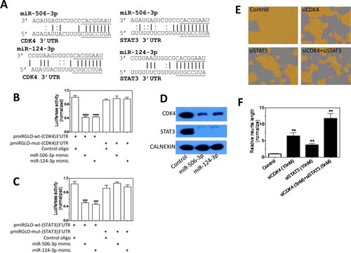 Validation of CDK4 and STAT3 as direct targets that mediate the differentiation-inducing function of miR-506-3p and miR-124-3p.