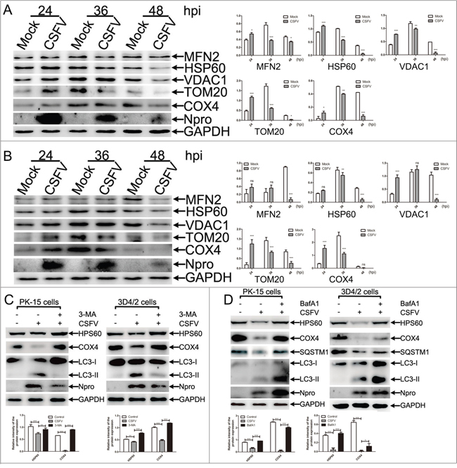 The decline in number of mitochondria in CSFV-infected cells was related to mitophagy.
