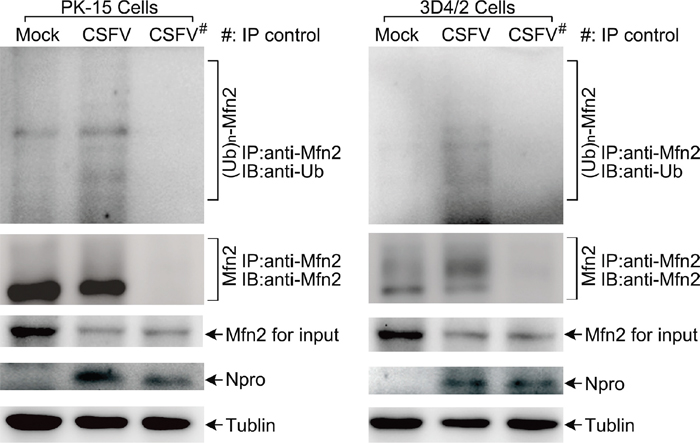 The level of MFN2 ubiquitination in CSFV-infected cells.