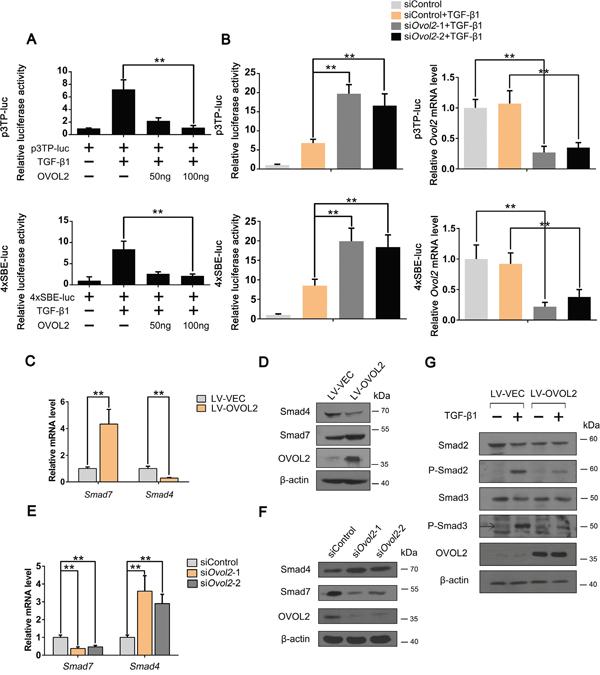 OVOL2 upregulates Smad7 and downregulates Smad4 to inhibit the TGF-β signaling pathway.