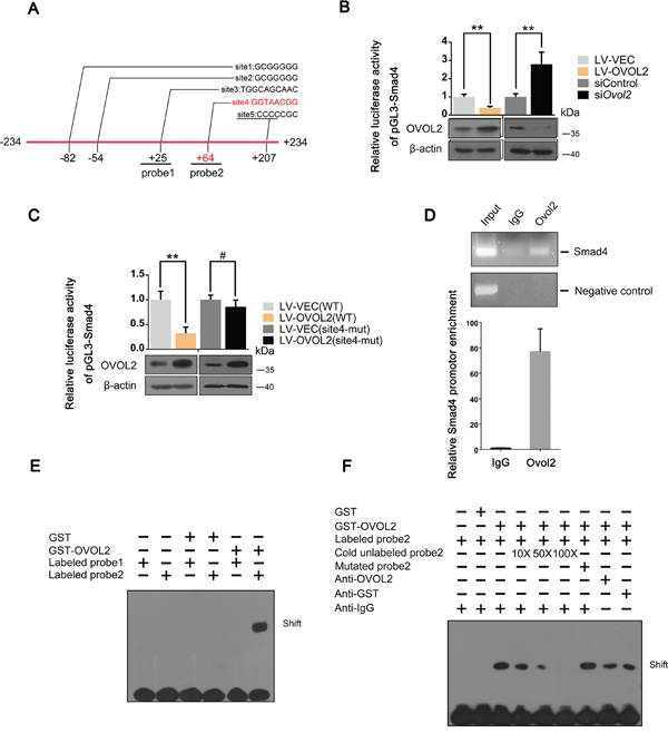 Smad4 is a novel direct downstream target gene of OVOL2.