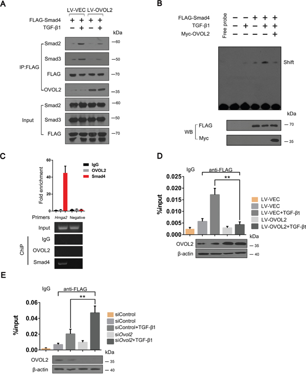 OVOL2 interferes with complex formation between Smad4 and Smad2/3 and blocks the binding between Smad4 and target DNA.