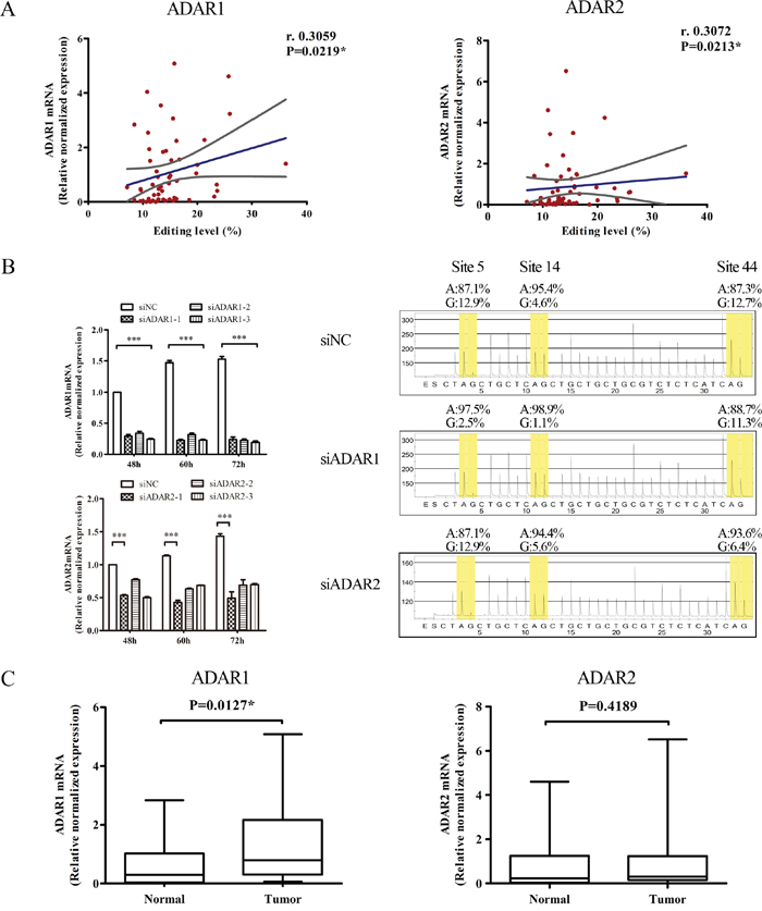 ADAR1 plays an important role in BLCAP A-to-I RNA editing.