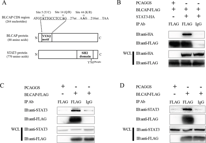 BLCAP interacts with STAT3.