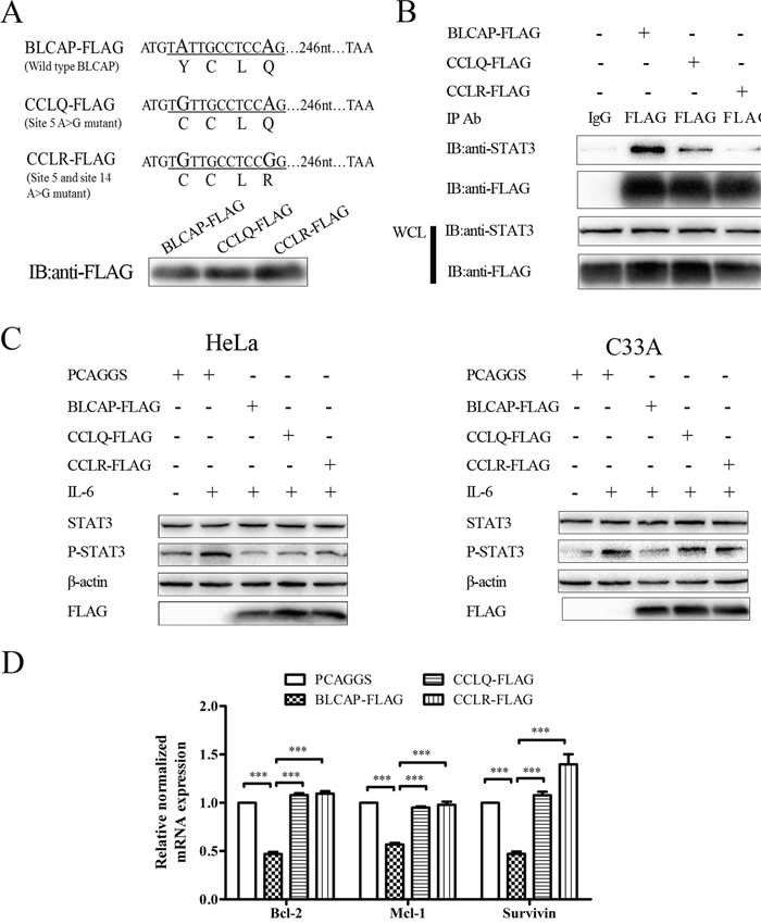 Loss of STAT3 inhibition by edited BLCAP after YXXQ motif mutation.