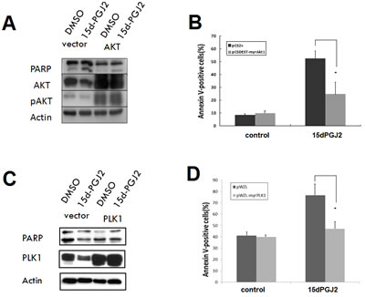 Overexpression of constitutively active AKT or PLK1 can partially reverse the cytotoxic effect of 15d-PGJ2.