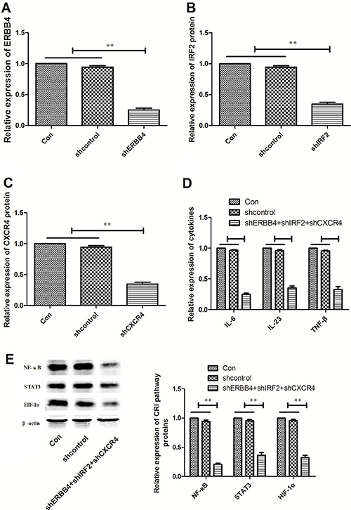 Effects of ERBB4, IRF2 and CXCR4 knockdown CRI critical pathway and cytokines.