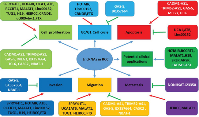 The functions of lncRNAs in pathogenesis and potential clinical applications in RCC.