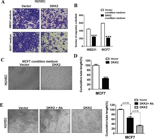 DKK2 suppressed angiogenesis in vitro.