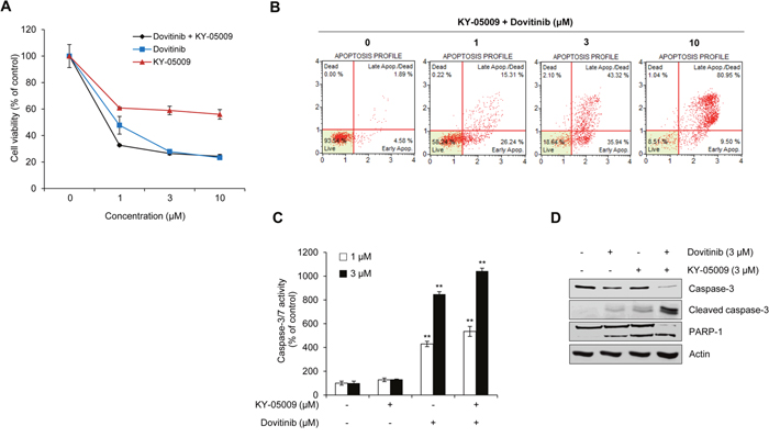 Synergistic effect of KY-05009 and dovitinib induces apoptosis of MM cells.
