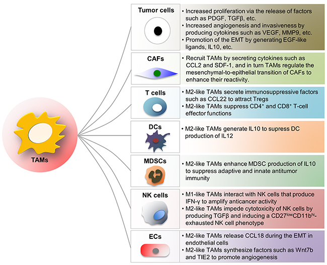 Influence of TAMs on other cells in TME.