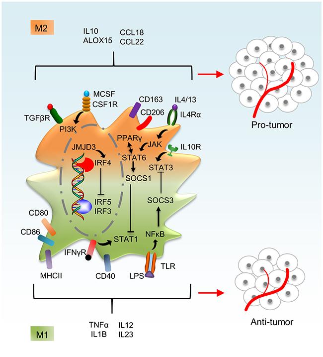Macrophage activation phenotypes.