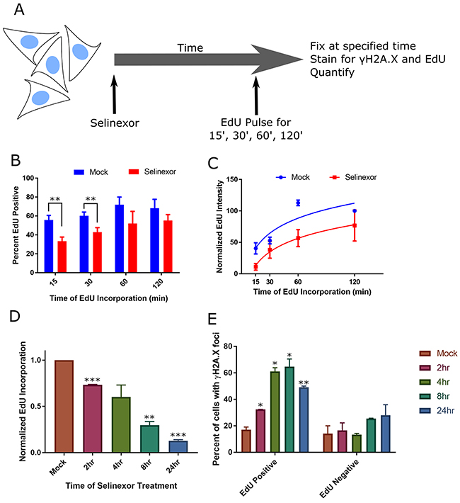 Cells with DNA damage foci associate strongly with S-phase and S-phase progression defects.