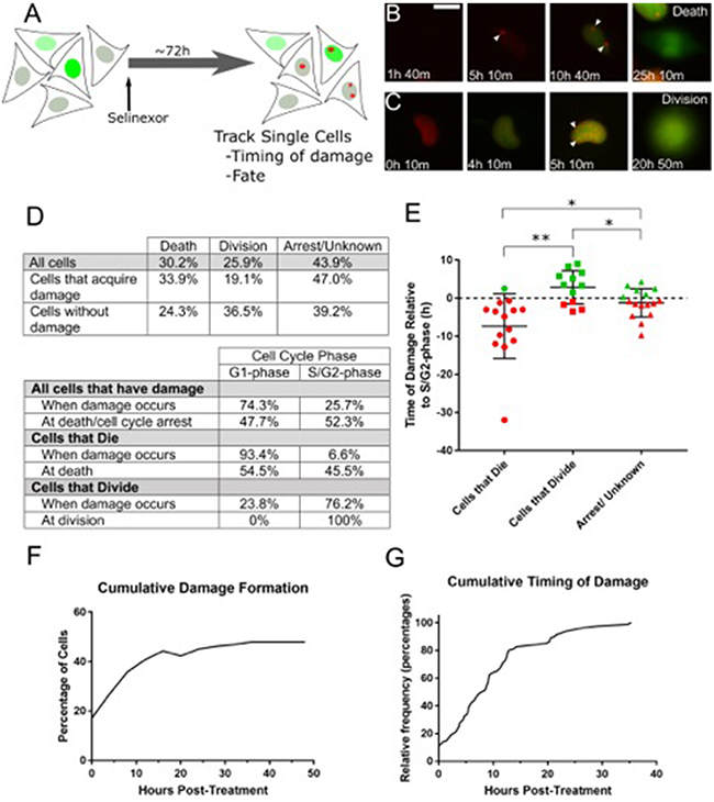 Live cell tracking of SINE treated cells reveals cell cycle associated DNA damage and cell fates.