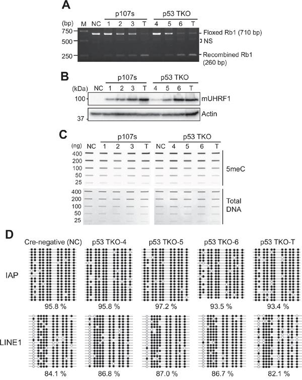 High UHRF1 expression does not change global DNA methylation in murine retinoblastoma models.