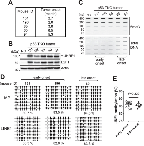 Global DNA hypomethylation may not be an early event leading to retinoblastoma development.