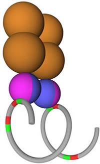 The DNA Loop Preclusion Model.