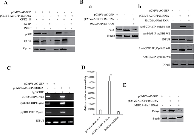 JMJD2A promotes C-myc expression by Pim1-CDK2-CyclinE-pRB axis.